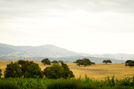 Santa Ynez Oak Trees from the View of Gainey Vineyard
